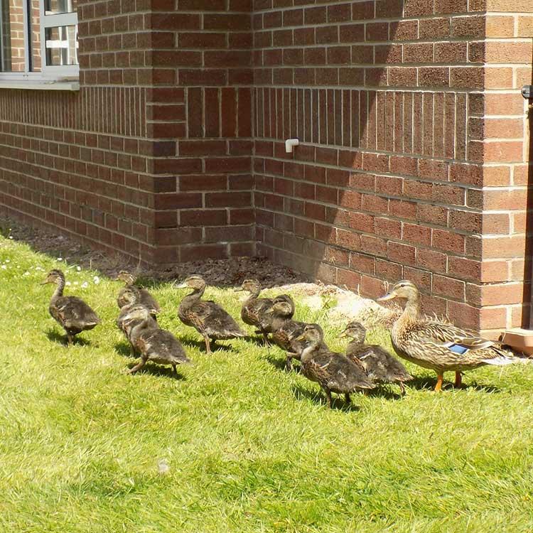 Family of Ducks outside Trentham House Care Home